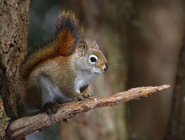 File:American red squirrel.jpg
