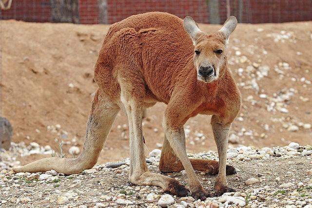 File:Red kangaroo.jpg