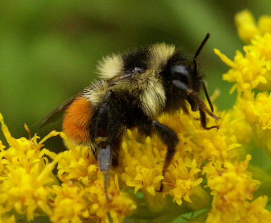 File:Orange-belted Bumblebee.jpg
