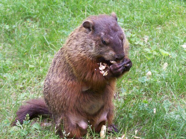 File:Groundhog3.jpg