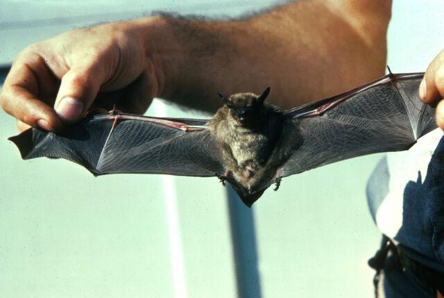 File:Little Brown Bat.jpg