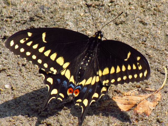 File:Eastern black swallowtail.jpg