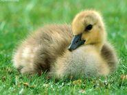 Canada Gosling