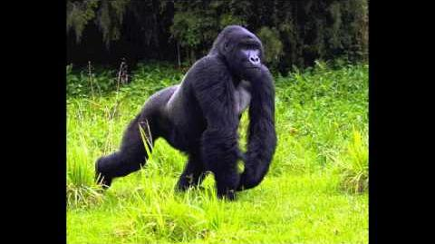 Gorilla Pants, Growls Sound Effect