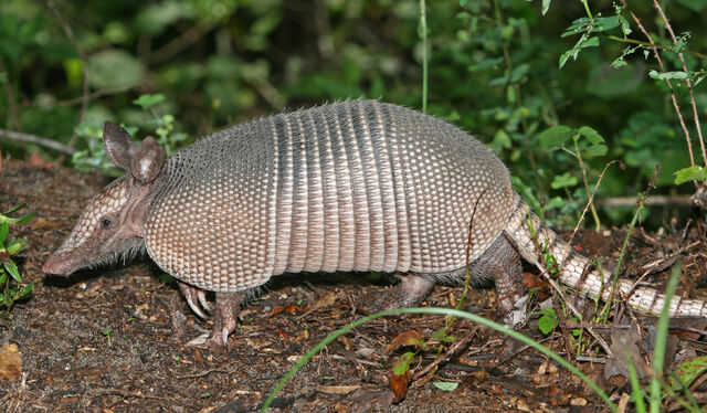 File:Nine-banded Armadillo.jpg