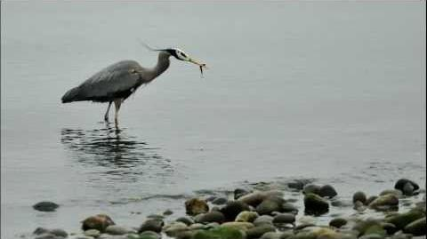 Great blue heron call