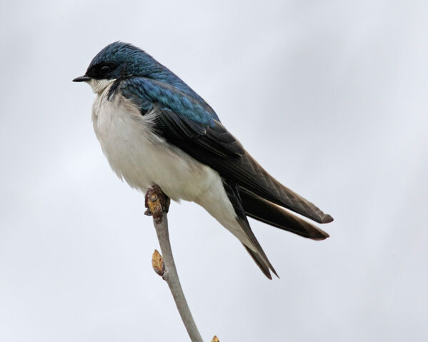 File:Tree Swallow.jpg