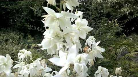 """Palmlilie """"Glockenbusch"""" (Yucca filamentosa L.)(Blüte) im Botanischen Garten Augsburg - 26. Juli 2013"""