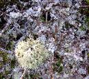 Rentierflechte (Cladonia rangiferina) - tatsächlich??? 27. September 2009