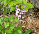 Purpur-Knabenkraut (Orchis purpurea) 7. Juni 2010