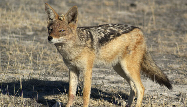 File:Black backed jackal large.jpg