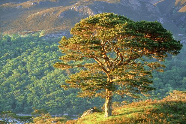 File:Scots Pine.jpg