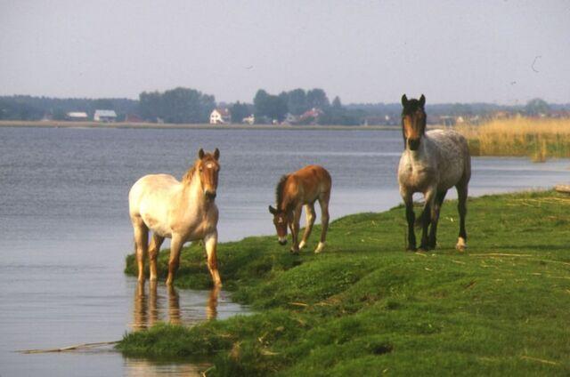File:Horses rural Milford.jpg