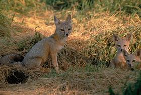 Shetlandian Fox