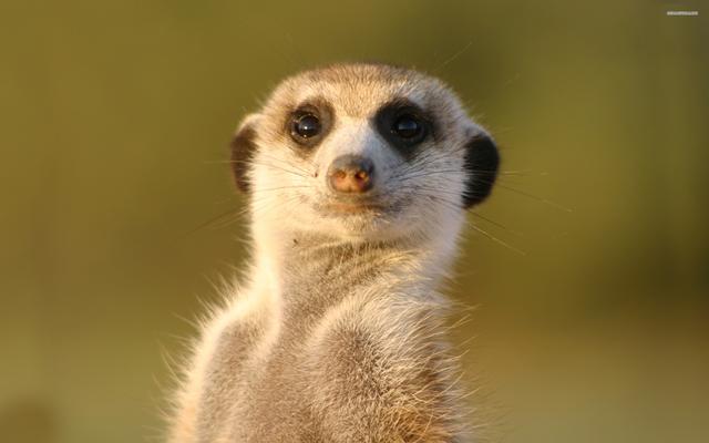 File:Meerkat.png
