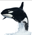 Dr. Blowhole - Orca