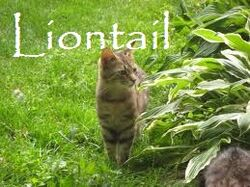 Liontail
