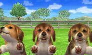 Beagle-tri