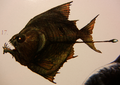 Rhadamanthus (Rhadamanthichthys luminoscutica)