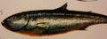Sparkleside (Micocallum pearci)