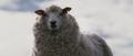 Mutant Sheep (Black Sheep)