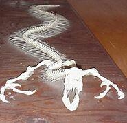 Tatzelwurmskeleton