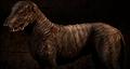 Blind Dog (Stalker)