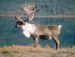 File:Reindeerkun.jpeg