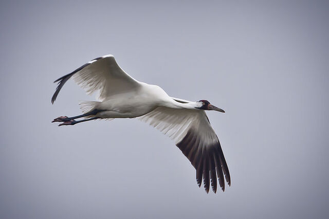 File:Whooping Crane in flight in Texas.jpg