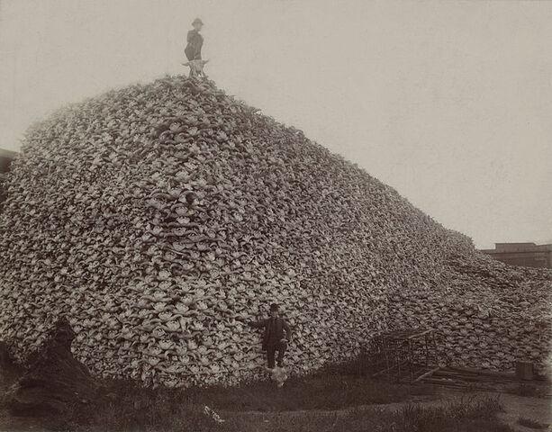 File:767px-Bison skull pile edit.jpg