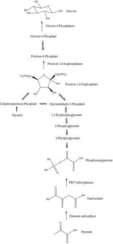 Slika:300px-Gluconeogenesis.png