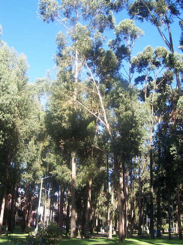 File:Eucalyptus trees.png