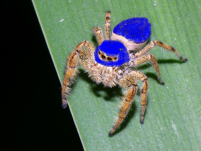 File:BrownMexicanJumpingSpider.jpg
