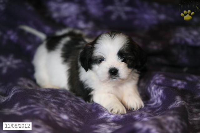 File:Puppy-shih-tzu-for-sale-puppiesforsaleinpajs54691.jpg
