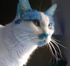 File:Blue and white cat.jpg