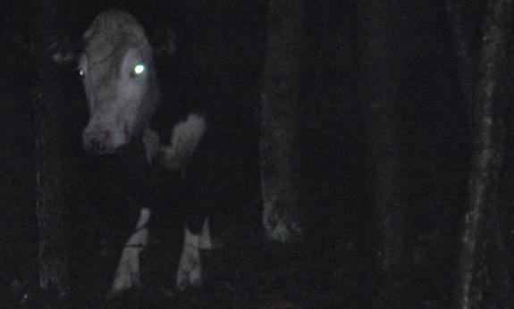 File:Cow2.jpg
