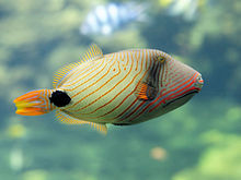 File:Orange-lined Triggerfish.jpg