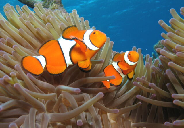File:04-clownfish07.jpg