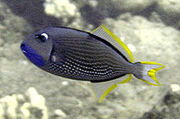 Gilded Triggerfish