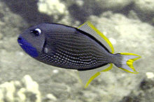 File:Gilded Triggerfish.jpg