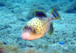 File:Yellowmargin Triggerfish.jpg