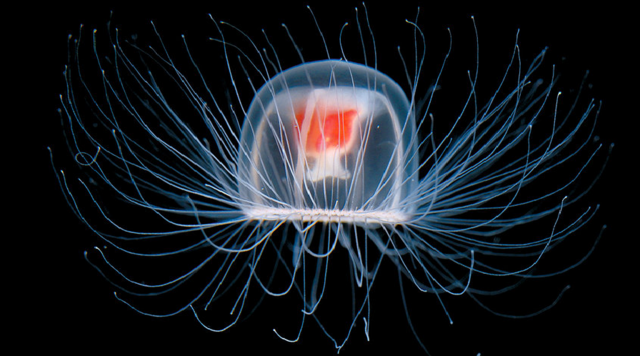 File:The Immortal Jellyfish.png
