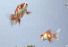 Flying goldfish