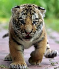 File:Baby Cub Running.jpeg