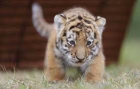 File:Running Tiger.jpg