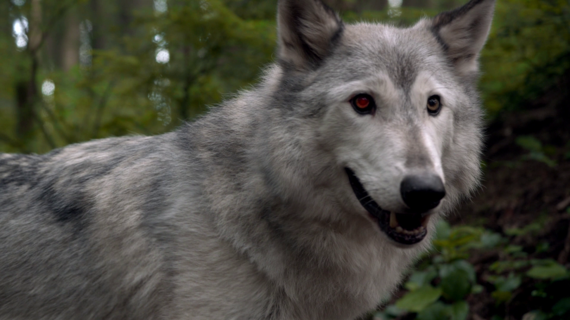 Wolf Once Upon A Time Wiki Fandom Powered By Wikia