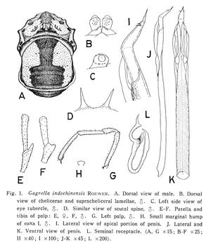 Gagrella indochinensis Roewer-1927c