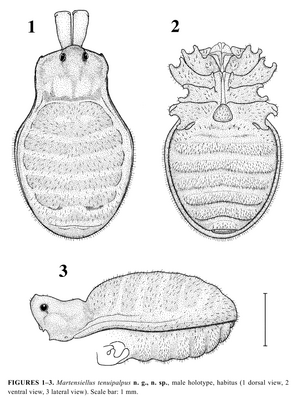 Martensiellus tenuipalpus Schweninger-2006-3