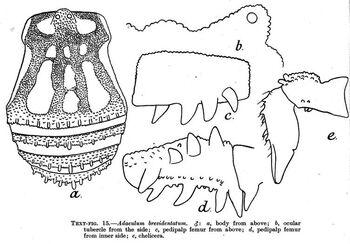 Adaeulum brevidentatum