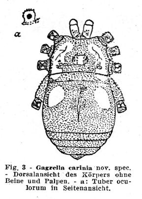 Gagrella carinia Roewer-1936